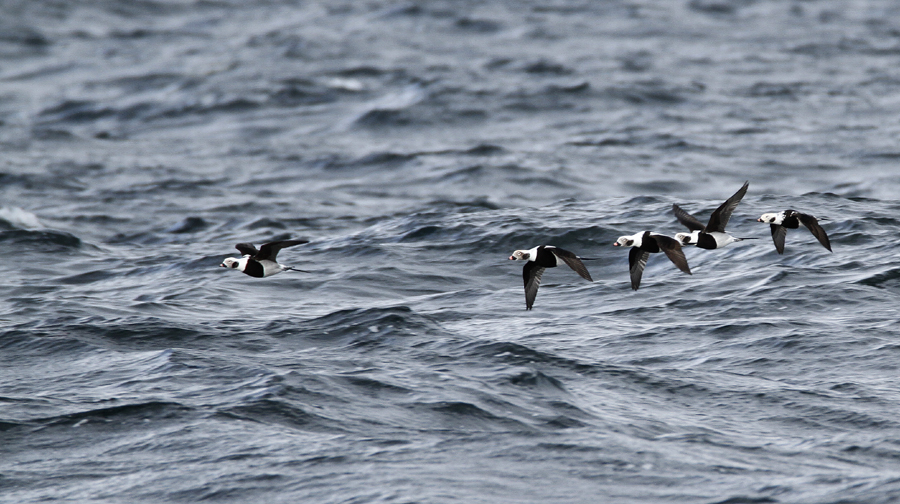 Radar survey of migratory birds at Baltic Sea - The long-tailed duck (Clangula hyemalis). Photo by Artur Niemczyk